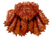 Centola King Crab