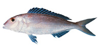 Fork-Tailed-Threadfin-Bream