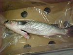 Grey Mullet packaging 2