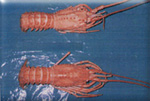 spiny lobster picture 1